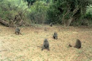 Babouins Parc Lac Manyara