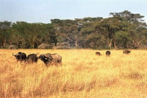 Buffles Parc Lac Nakuru