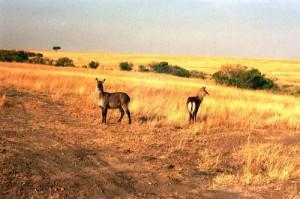 Cobe Defassa    Parc Masai Mara