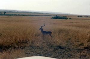 Gazelle Parc Masai Mara