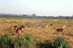 Gazelles Parc Lac Nakuru
