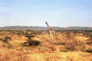 Girafe (Masai) Parc Lac Nakuru