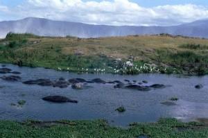 Hippopotames cratère Ngorongoro