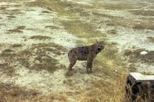 Hyène Parc Amboseli
