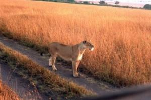 Lionne Parc Masai Mara