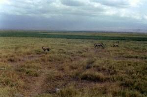 Lionnes Parc Amboseli