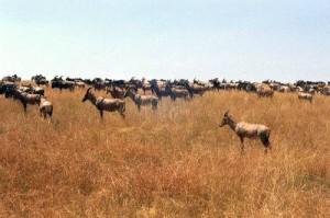 Troupeau de topis    Parc Masai Mara