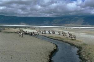 Zèbres de Burchell, cratère Ngorongoro