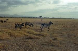 Zèbres parc Amboseli